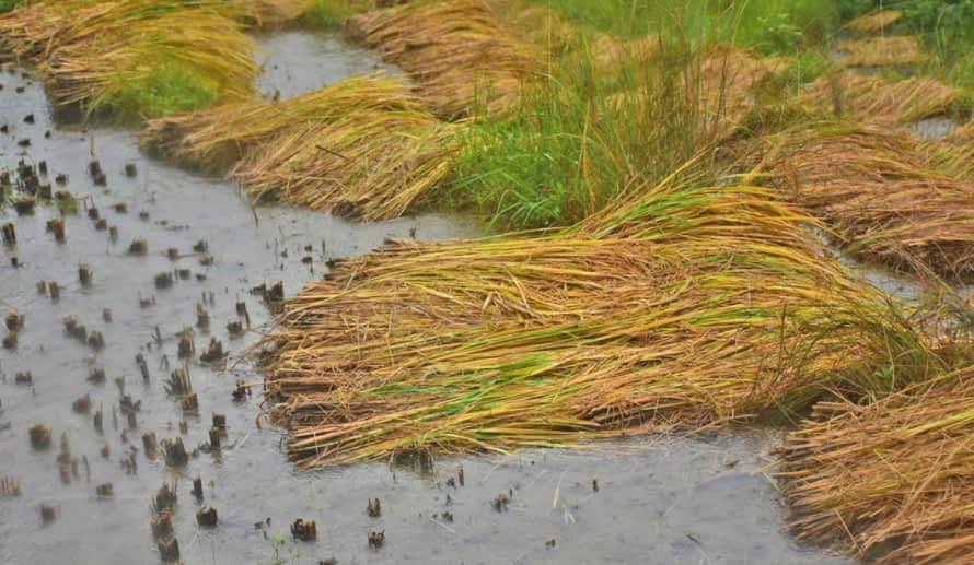 बेमौसमी वर्षाले लुम्बिनीमा साढे ४ अर्बको धानबाली नष्ट